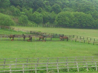 新冠には競走馬になる馬たちが放し飼いにされている