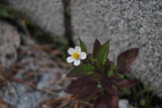 一眼レフで初めて撮った路上の花