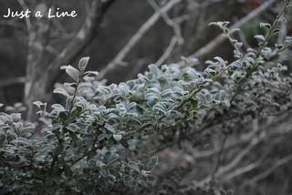 霜が降りて白くなった枝