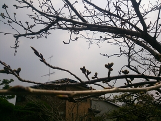 桜井戸周辺の桜のつぼみ