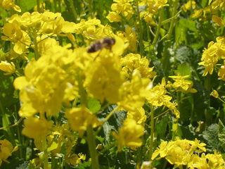 菜の花に群がるミツバチ