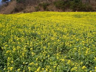 四国中央市の翠波高原の菜の花畑