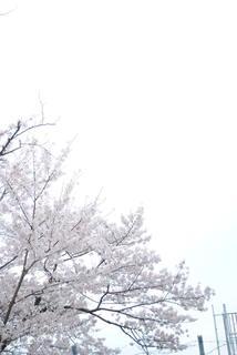 黄金山の満開の桜
