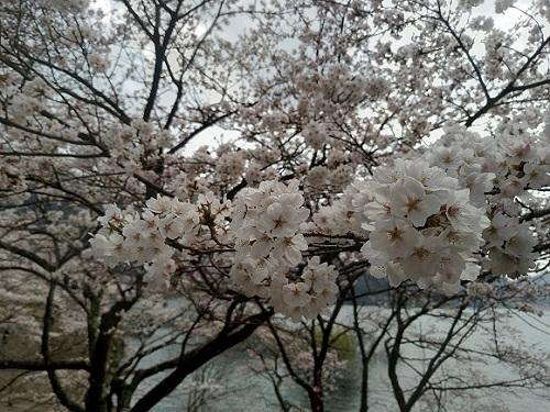 土師ダムの桜は花見におすすめ