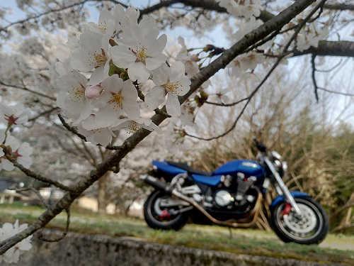 桜の花見と後ろボケさせたXJR1200