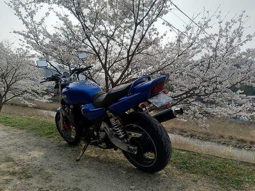 桜の花とXJR1200
