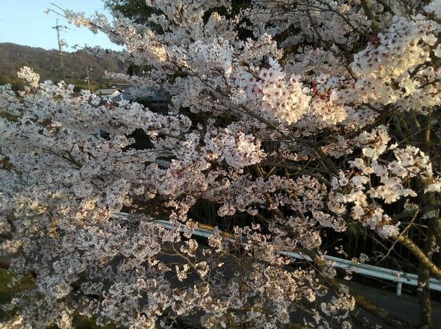 ドローンで撮影した桜