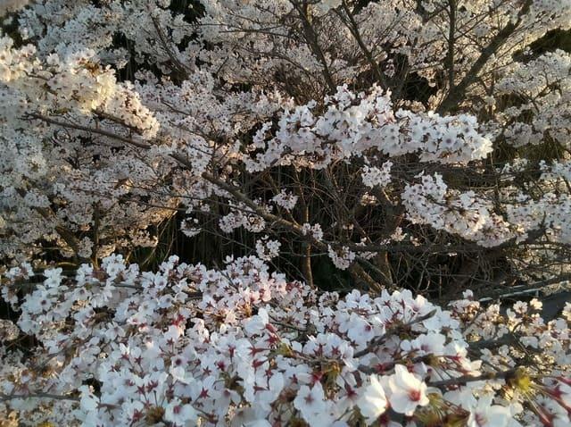 ドローンで桜の中へ侵入