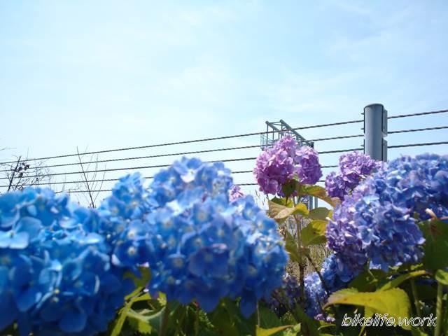 前ボケで撮影した紫陽花の花