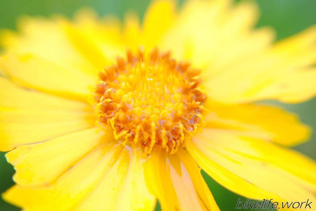 マクロレンズのワイコンで撮影した黄色の花
