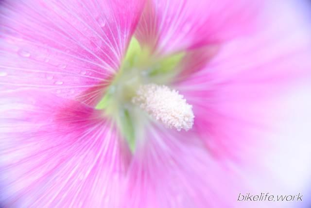 マクロレンズのワイコンで撮影したピンクの花