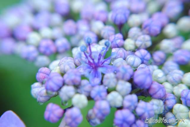 マクロレンズのワイコンで撮影した紫の花